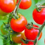 トマトをお家で育てちゃおう!栄養価の高い人気者トマトの栽培法のサムネイル画像