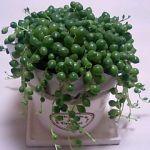 ころっとかわいい、ほっこり癒されるグリーンネックレスの育て方。のサムネイル画像