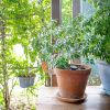 シンボルツリーでも人気のシマトネリコ 正しく剪定できていますかのサムネイル画像