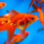 日本の夏の風物詩 美しく涼しげでかわいい金魚との暮らし方のサムネイル画像
