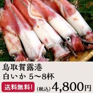 【鳥取うまいもん市場】鳥取賀露港 白いか 5~8杯