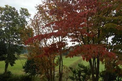 庭のやまぼうしの紅葉写真