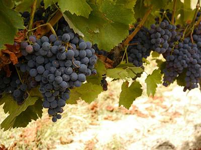 イベリア半島のブドウ品種 メンシア/ジャエン スペインxポルトガル