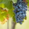 栽培されているブドウの写真