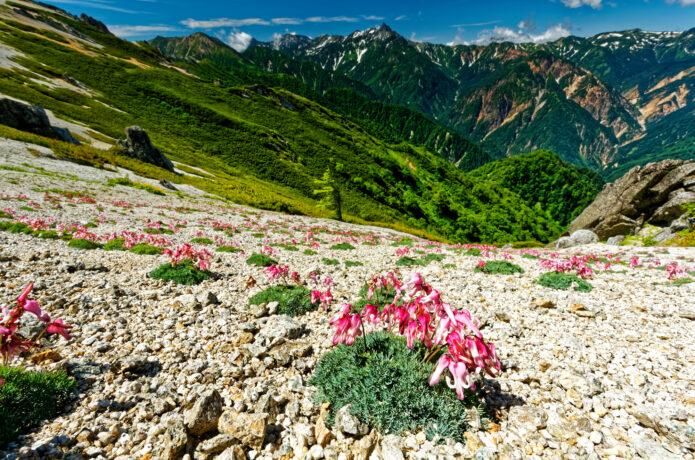 夏山の稜線を彩る高山植物の女王・コマクサ その可憐な花を堪能できるオススメ7コース