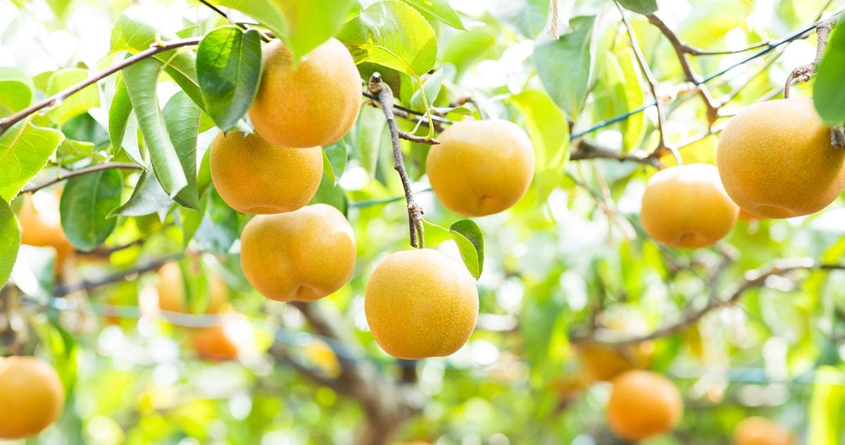 関西の梨狩りスポット12選!もぎたての秋の味覚をどうぞ。