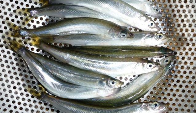 チカってどんな魚なの?特徴や釣り方・食べ方を詳しくチェック