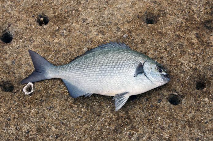イスズミとグレの見分け方を解説!釣り方と旬に味わいたいレシピ