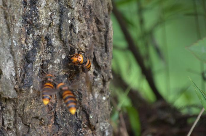 黒いウエアは狙われるって本当!? スズメバチが攻撃するのはココだった!