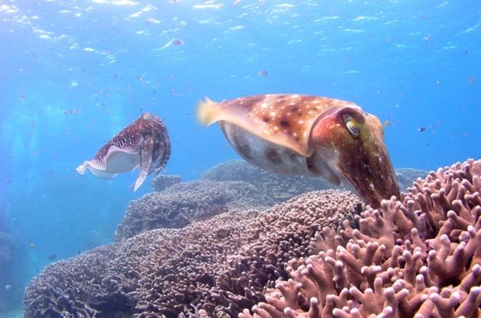コブシメは沖縄の高級イカ!生態と釣り方、おすすめレシピとは