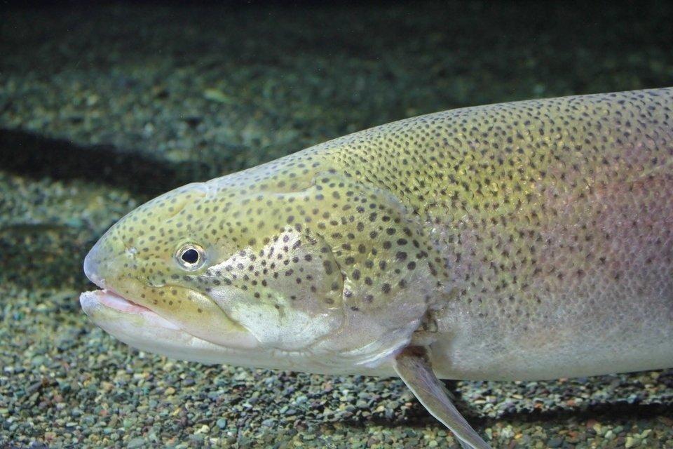 日本の怪魚・イトウってどんな魚?絶滅寸前の巨大魚の生態や釣り方についてご紹介します!