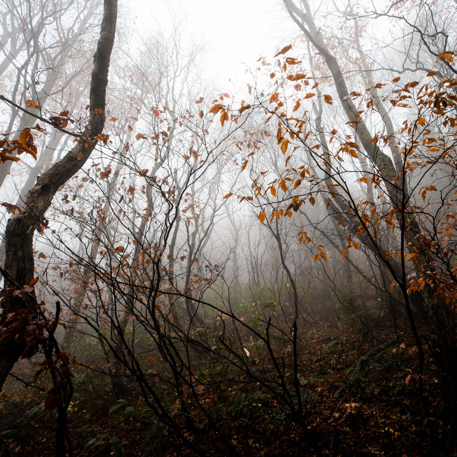 荒島岳登山 待冬のブナ林 霧煙る落葉の登山道