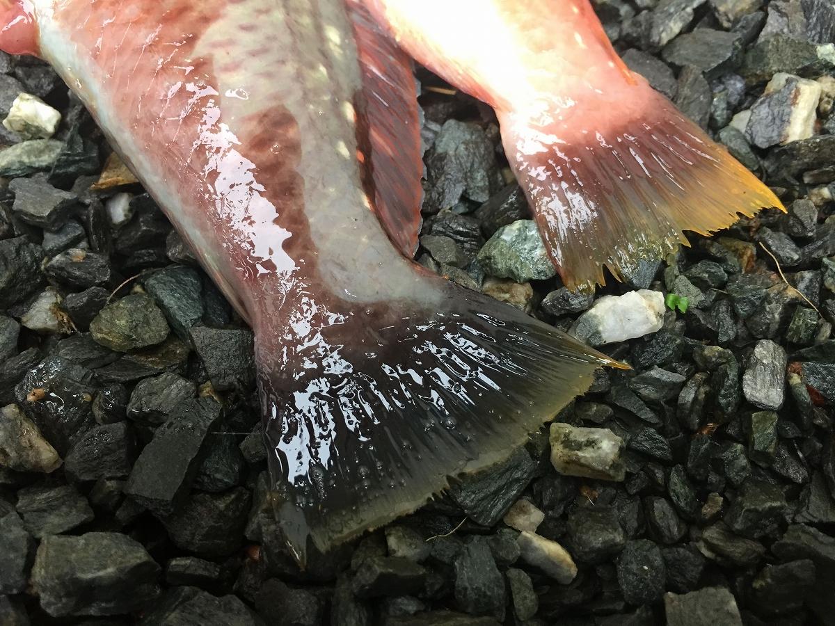 ベラの尻尾が刺身で美味い!?どんな味と食感か気になったのでカヤックで釣ったベラを食べてみました!