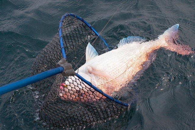 タモ網の使い方、合っていますか?超大事なタモ網の使い方のコツをおさえてデカい魚をしっかりゲット!