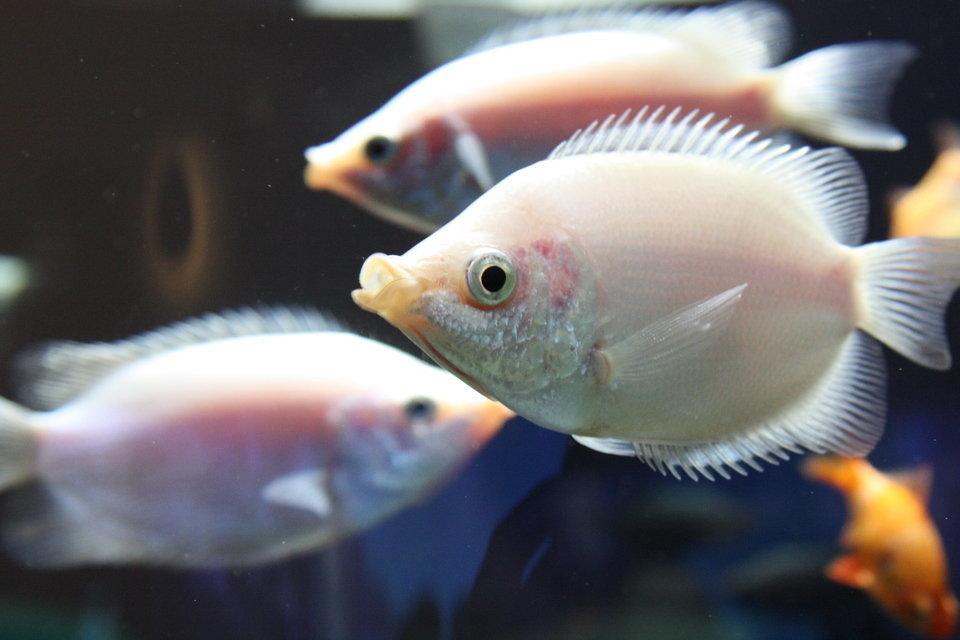 キッシンググラミーという熱帯魚をご存知ですか??キスする姿が可愛い魚です!