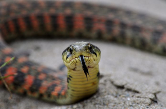 水辺を好む毒蛇ヤマカガシの対策法!咬まれた時の症状・応急処置のしかたは?