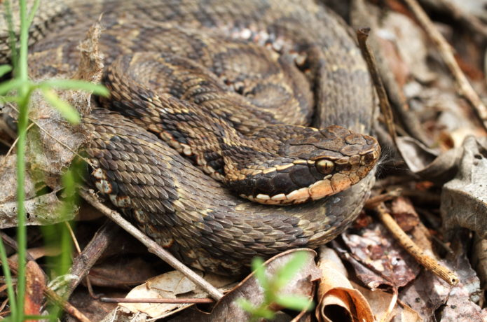 日本での被害件数最多!毒蛇マムシの対策法、咬まれた時の症状や応急処置方法