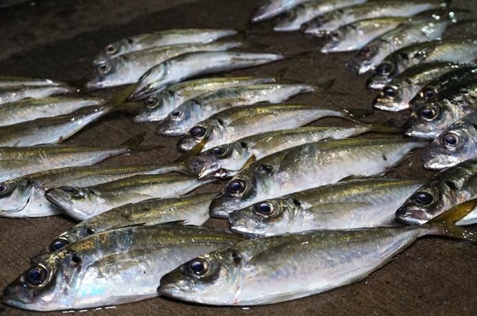 アジ釣りは『時期』が最重要! 時期ごとの特徴とポイントが合えば簡単に釣れるお魚です
