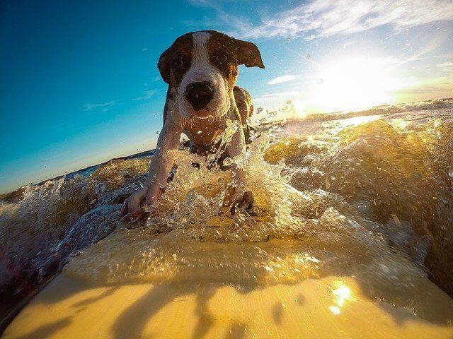 サーファーの愛犬といえば?海が似合う犬種10選