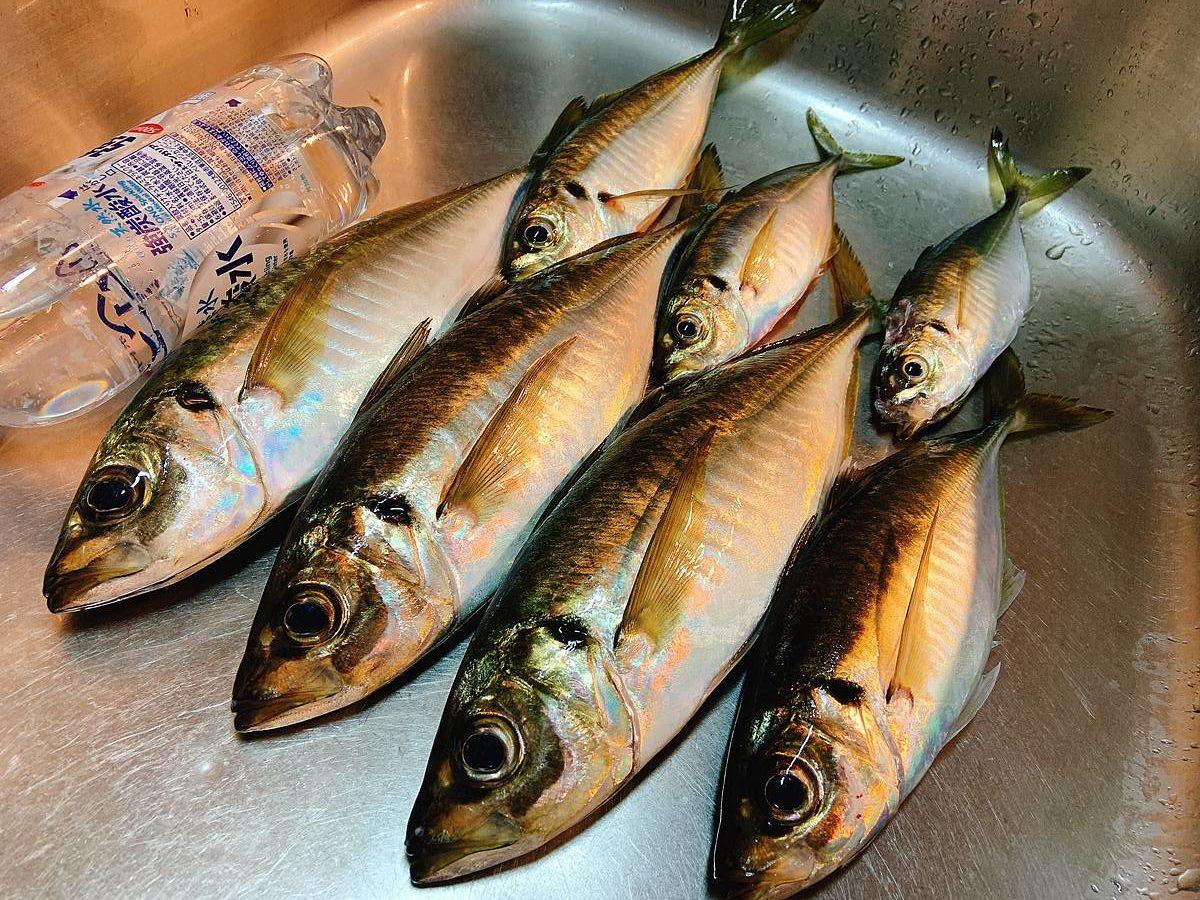 釣りアジの目利きは案外むずかしい / 大アジ炙り、中・小アジの塩タタキの作り方