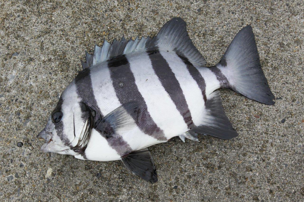 サンバソウ特集!イシダイの幼魚「サンバソウ」の釣り方と食べ方
