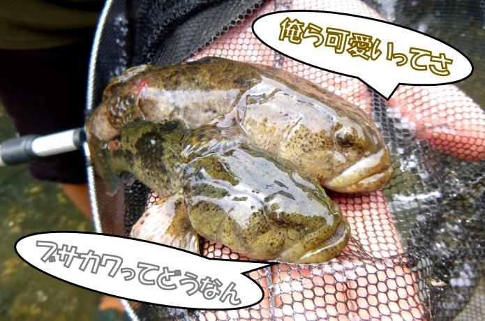 """ブサカワな川魚""""ドンコ""""の釣り方や飼い方に迫る!チゴタラやエゾイソアイナメと混同注意!"""