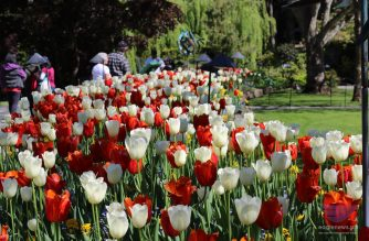 Tulips of various colors at the Butchart Gardens in Brentwood Bay, British Columbia, Canada, located near Victoria on Vancouver Island.  The gardens, which about a million tourists visit each year, have been designated as a National Historic Site in Canada.  Photo by Dale Daza, EBC correspondent in Canada.  (Eagle News Service)