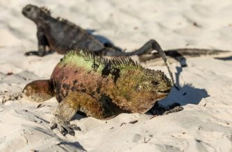 """Two Galapagos marine iguanas (Amblyrhynchus cristatus) sunbathe at Tortuga Bay beach in Santa Cruz Island, Galapagos, Ecuador, on January 20, 2018.  Ecuador's growing tourism threatens the country's fragile paradises. Galapagos islands, declared a World Natural Heritage by UNESCO, limited tourism clashes with President Lenin Moreno's """"Cielos Abiertos""""(Open Skies) policy to increase tourism and flight frequency all over the country, including the archipelago.  / AFP PHOTO / Pablo COZZAGLIO / TO GO WITH AFP STORY by Jordi MIRO and VIDEO by Pablo COZZAGLIO"""