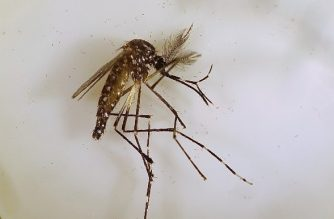 "This handout photo taken on April 13, 2018 by the Commonwealth Scientific and Industrial Research Organisation (CSIRO) and received by AFP on July 10, 2018 shows an Aedes aegypti mosquito in Cairns, Queensland. More than 80 percent of a dengue fever-spreading mosquito has been wiped out in an Australian town during a landmark trial scientists said on July 10, 2018, offering hope for combating the dangerous pest globally. / AFP PHOTO / CSIRO / Handout / ---- EDITORS NOTE --- RESTRICTED TO EDITORIAL USE - MANDATORY CREDIT ""AFP PHOTO / Commonwealth Scientific and Industrial Research Organisation (CSIRO)"" - NO MARKETING NO ADVERTISING CAMPAIGNS - DISTRIBUTED AS A SERVICE TO CLIENTS --- NO ARCHIVES ---  /"