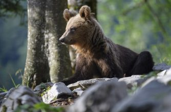 A bear explores the forest above the small village of Markovec, Slovenia, on June 27, 2018. / AFP Photo / Jure Makovec