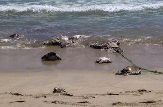"""Handout picture relased on August 29, 2018 by Oaxaca's Civil Protection office showing dead sea turtles near Puerto Escondido, Oaxaca State, on August 28, 2018.  The environmental ministry in Mexico said more than 300 sea turtles died on Mexico's southern Pacific coast after being trapped in an abandoned illegal fishing net.  / AFP PHOTO / OAXACA CIVIL PROTECTION OFFICE / HO / RESTRICTED TO EDITORIAL USE - MANDATORY CREDIT """"AFP PHOTO /  OAXACA CIVIL PROTECTION OFFICE """" - NO MARKETING - NO ADVERTISING CAMPAIGNS - DISTRIBUTED AS A SERVICE TO CLIENTS"""