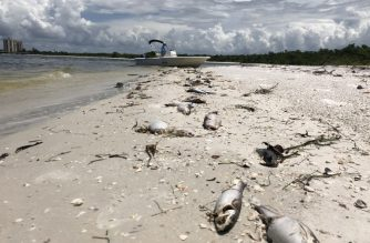 Bob Wasno, a marine biologist with the Florida Gulf Coast University, docks his boat on a beach in Bonita Springs, Florida, on August 14, 2018, where hundreds of dead fish washed up killed by red tide. / AFP Photo / Gianrigo Marletta