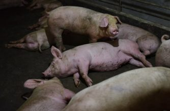 This photo taken on August 10, 2018 shows pigs resting in a pen at a pig farm in Yiyang county, in China's central Henan province. The powdery yellow mixture of soybean-based feed for pigs -- one-fifth soy -- has become pricier as the trade spat between China and the US escalates, with Beijing slamming US soybean imports with tariffs of 25 percent last month. / AFP PHOTO / GREG BAKER / TO GO WITH China-US-trade-pork, FOCUS by Becky DAVIS