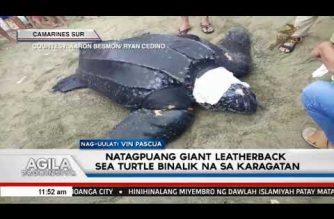 Natagpuang giant leatherback sea turtle sa Camarines Sur, ibinalik na sa karagatan