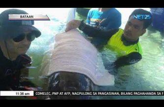 Sugatang dolphin, natagpuan sa isang resort sa Morong, Bataan