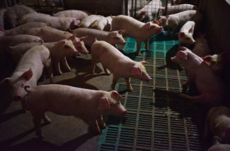 This photo taken on August 10, 2018 shows piglets standing in a pen at a pig farm in Yiyang county, in China's central Henan province. - The powdery yellow mixture of soybean-based feed for pigs -- one-fifth soy -- has become pricier as the trade spat between China and the US escalates, with Beijing slamming US soybean imports with tariffs of 25 percent last month. (Photo by GREG BAKER / AFP) / TO GO WITH China-US-trade-pork, FOCUS by Becky DAVIS