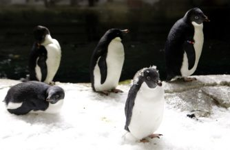 Adelie penguins (Pygoscelis adeliae) at an Antarctic environment recreated at the Guadalajara Zoo, in Jalisco State, Mexico on February 6, 2019. - The first birth of this species in Latin America took place a month ago in the zoo. (Photo by Ulises Ruiz / AFP)