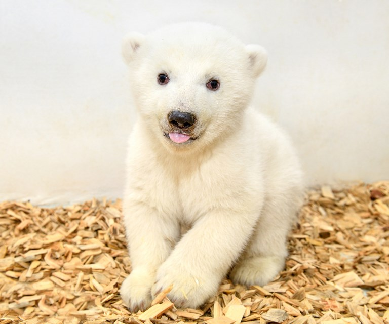 Look: Tierpark Berlin shows photo of unnamed female 11-week-old icebear cub during first veterinary examination