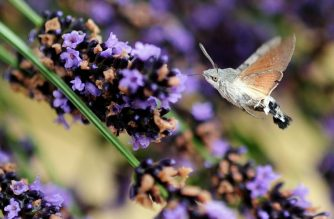 A Bombyx, an insect of the lepidoptera family, collects nectar from lavander on July 13, 2011 in the southeastern city of Lamastre. AFP PHOTO / FRANCK FIFE (Photo by FRANCK FIFE / AFP)