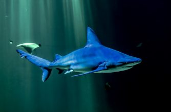 A Grey reef shark swins in an aquarium at the National Center of the Sea, Nausicaa, on February 16, 2019 in Boulogne-sur-Mer, northern France. (Photo by PHILIPPE HUGUEN / AFP)