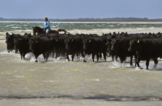 This photo taken on February 24, 2019 shows cattle mustered along a beach as they head to fresh grazing pastures in Cape Grim, Tasmania. - While the world's most polluted cities struggle to attract talent or manage chronic illnesses, residents around Cape Grim in Tasmania have made a virtue of their relatively pristine environment. Local beef is marketed with links to scientific papers on air quality, the numbers of wind farms are increasing and so too, tourists attracted by the clean air. (Photo by William WEST / AFP) / TO GO WITH Asia-environment-pollution-Australia, FEATURE by Andrew BEATTY