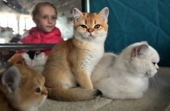 Scottish Straight kittens are pictured during a cat exhibition in Bishkek on March 2, 2019. - Cat lovers from Kyrgyzstan, Kazakhstan and Uzbekistan took part in the event. (Photo by Vyacheslav OSELEDKO / AFP)