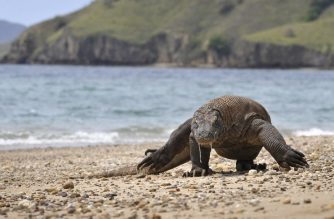 (FILES) This file photo taken on December 2, 2010 shows a Komodo dragon searching the shore area of Komodo island for prey. - Indonesia is mulling to temporarily shut down the popular Komodo island for a year to prevent mass tourism and smuggling attempts that could threaten the endangered species, it was reported on April 4, 2019. The temporary shutdown is expected to be implemented on January 2020 and only applies to Komodo island while other tourists favorite destinations like Rinca and Padar island would remain open. (Photo by Romeo GACAD / AFP)
