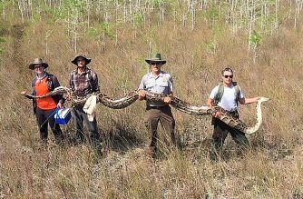 "This handout photograph, obtained April 7, 2019 courtesy of the Big Cypress National Preserve, shows a team of hunters with the Big Cypress National Preserve in Ochopee, Florida holding a female python measuring over 17 feet in length and weighing 140 pounds with 73 developing eggs. The group, who published the photograph April 4, 2019, say the catch sets a new record, the largest python ever removed from the Big Cypress National Preserve. - Researchers in Florida using a new approach to combating a destructive invasion by enormous pythons have captured one of the biggest ever, a 17-foot-long (5.2 meters) specimen large enough to eat a deer, they said. The female snake is longer than a one-story building is high, and weighs 140 pounds (64 kilograms). It is one of the biggest pythons ever caught in southern Florida, according to a post on the Facebook page of the Big Cypress National Preserve.  The researchers found the enormous reptile by using male pythons fitted with radio transmitters, allowing them to track the male and locate breeding females, according to the post. (Photo by Handout / Big Cypress National Preserve / AFP) / == RESTRICTED TO EDITORIAL USE  / MANDATORY CREDIT:  ""AFP PHOTO /  Big Cypress National Preserve"" / NO MARKETING / NO ADVERTISING CAMPAIGNS /  DISTRIBUTED AS A SERVICE TO CLIENTS  =="