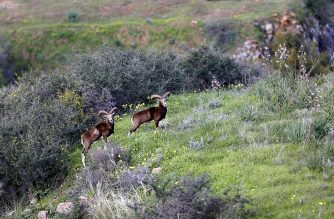 This picture taken on February 13, 2019, shows Cypriot mouflons (Ovis orientalis orientalis ophion) inside the buffer zone that splits the Greek-Cypriot-controlled south from the breakaway Turkish Republic of Northern Cyprus, which is only recognised by Turkey, near Variseia, some 70 kilometers west of the capital of Cyprus, Nicosia. (Photo by Matthieu CLAVEL / AFP)