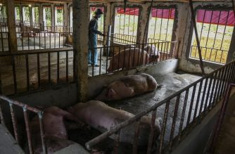 This photograph taken on May 27, 2019 shows a veterinarian inspecting a farm with dead pigs in Hanoi. - Millions of pigs have been culled as African Swine Fever cuts through China and beyond, devastating global food chains with pork prices expected to soar from the wet markets of Hong Kong to American dinner tables. Since its first case in February, Vietnam has culled an estimated two million pigs -- over six percent of the total population -- and has set up screening stations along some borders. (Photo by Manan VATSYAYANA / AFP) / TO GO WITH Vietnam-China-animals-disease-economy-pork, FOCUS by Jenny VAUGHAN
