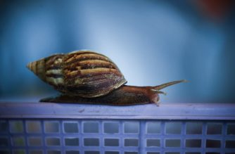 "This picture taken on May 31, 2019 shows a snail being used for serum production at the Acha Snail Park in Nakhon Nayok province. - Giant snails inch across a plate of pumpkin and cucumber in central Thailand, an ""organic"" diet to tease the prized collagen-rich mucus from the molluscs, which to some cosmetic firms are now more valuable than gold. (Photo by Lillian SUWANRUMPHA / AFP)"