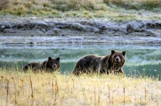 (FILES) In this file photo taken on October 8, 2012 a grizzly bear mother and her cub walk near Pelican Creek in the Yellowstone National Park, Wyoming. - US President Donald Trump's administration on August 12, 2019 finalized rollbacks to key provisions of the Endangered Species Act, a law supported by a large majority of Americans and credited with saving the gray wolf, bald eagle and grizzly bear. The changes include removing a rule that automatically conveys the same protections to threatened species and endangered species, and striking language that says economic considerations should play no part in making determinations on how wildlife is listed. (Photo by KAREN BLEIER / AFP)