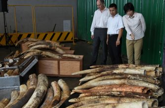 (FILE) Confiscated illegal ivory waiting to be destroyed with a rock-crusher machinery in Singapore on June 13, 2016. (Photo by ROSLAN RAHMAN / AFP)