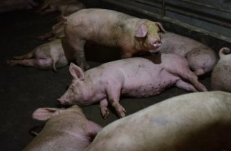 This photo taken on August 10, 2018 shows pigs resting in a pen at a pig farm in Yiyang county, in China's central Henan province. - The powdery yellow mixture of soybean-based feed for pigs -- one-fifth soy -- has become pricier as the trade spat between China and the US escalates, with Beijing slamming US soybean imports with tariffs of 25 percent last month. (Photo by GREG BAKER / AFP) / TO GO WITH China-US-trade-pork, FOCUS by Becky DAVIS